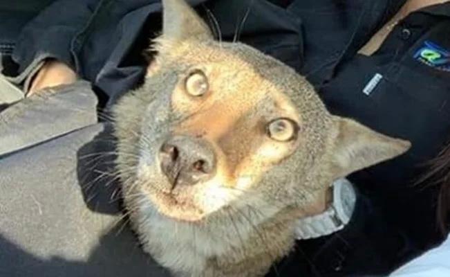 """Fallece """"Pancho"""", el coyote que confundieron con un perro"""