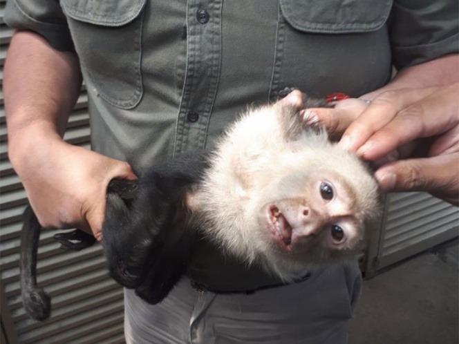 Capturan al mono capuchino de Las Lomas… ¡por fin!