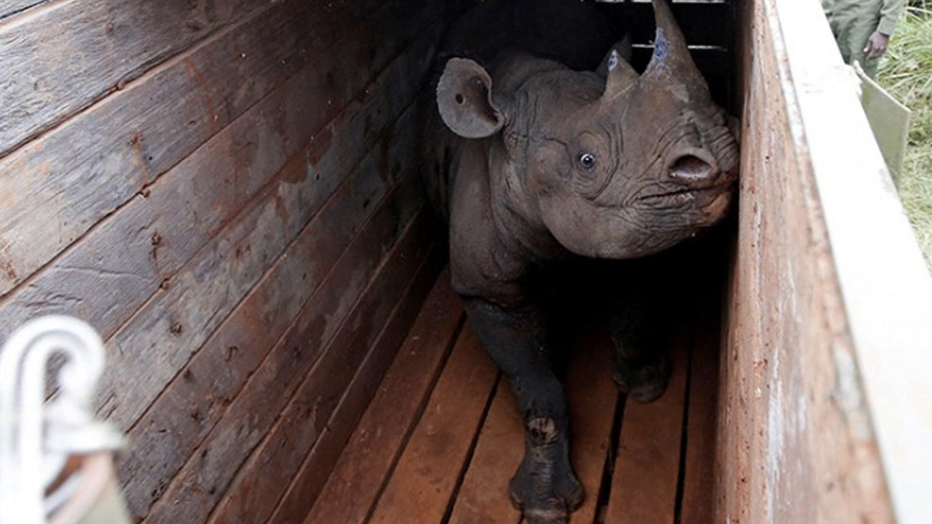 Mueren rinocerontes tras traslado fallido
