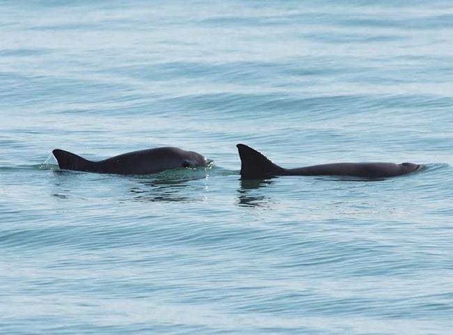 Descubren vaquita marina en estado reproductivo en Golfo de California