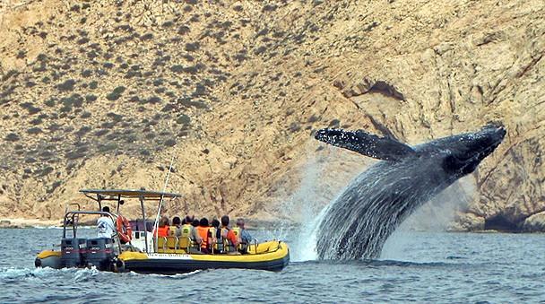 Inicia cita anual en Los Cabos para observación de ballenas jorobadas