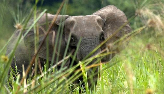 Elefante mata a cazador y leones lo devoran
