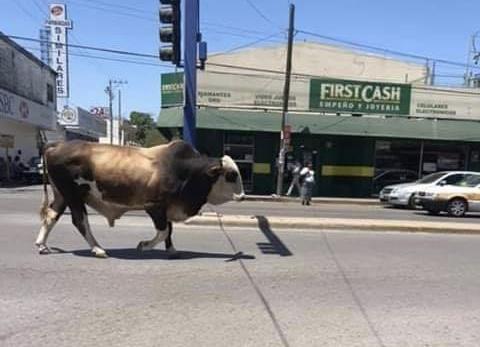Sorprende enorme toro en el centro de ALTAMIRA