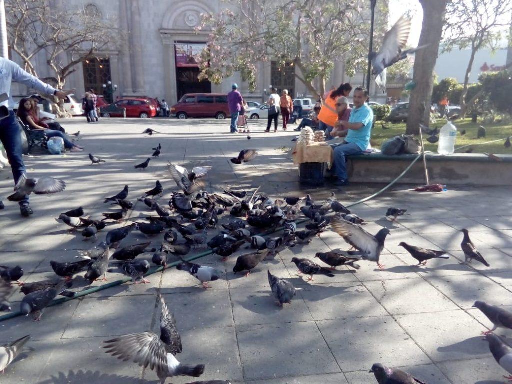 Pichones han causado dos muertes en Tampico