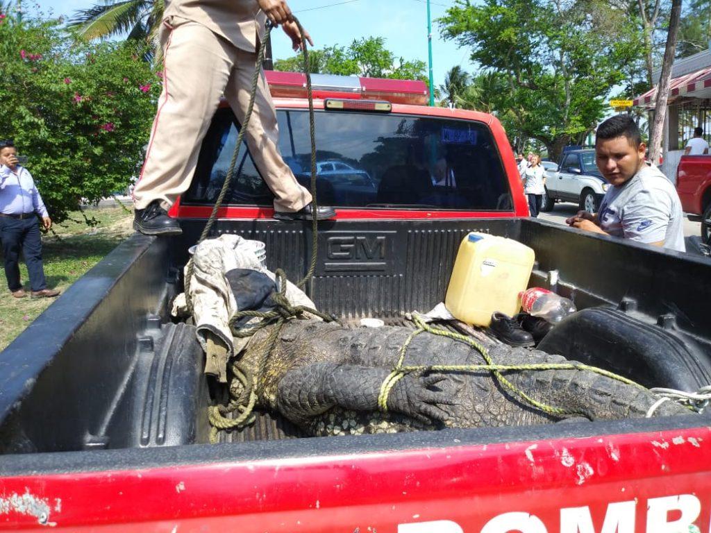 Capturan enorme cocodrilo en Tampico