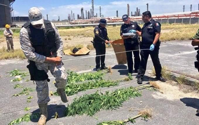 Cultivan mariguana en Refineria de Cadereyta