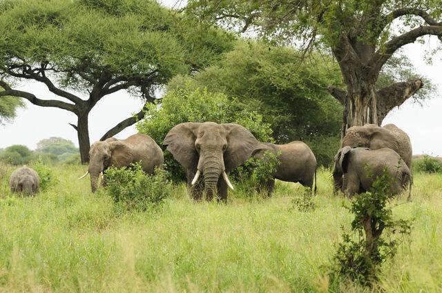El-elefante-africano-de-los-bosques
