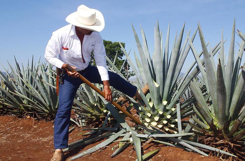 Tamaulipas fortalece vocación como productor de tequila