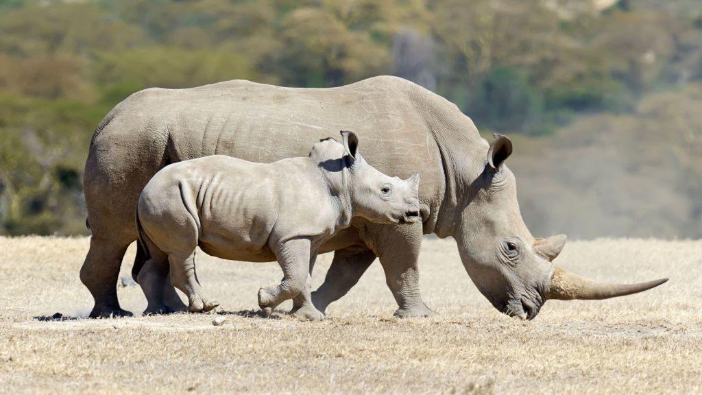 Hay esperanza para rinoceronte blanco del norte