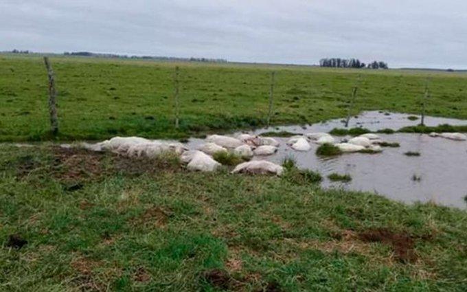 Mueren tres mil 500 ovejas en Argentina por repentino cambio de clima