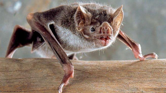 Alerta en Tampico por detección de murciélago con rabia