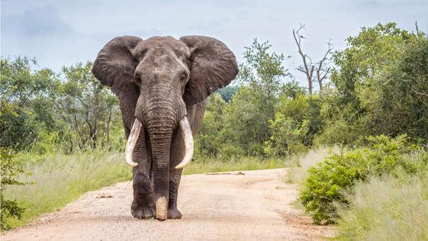 Encuentran un elefante de Sumatra decapitado y sin colmillos en Indonesia