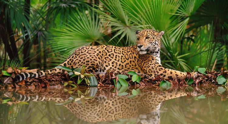 Llama WWF a atender amenazas que enfrenta el jaguar