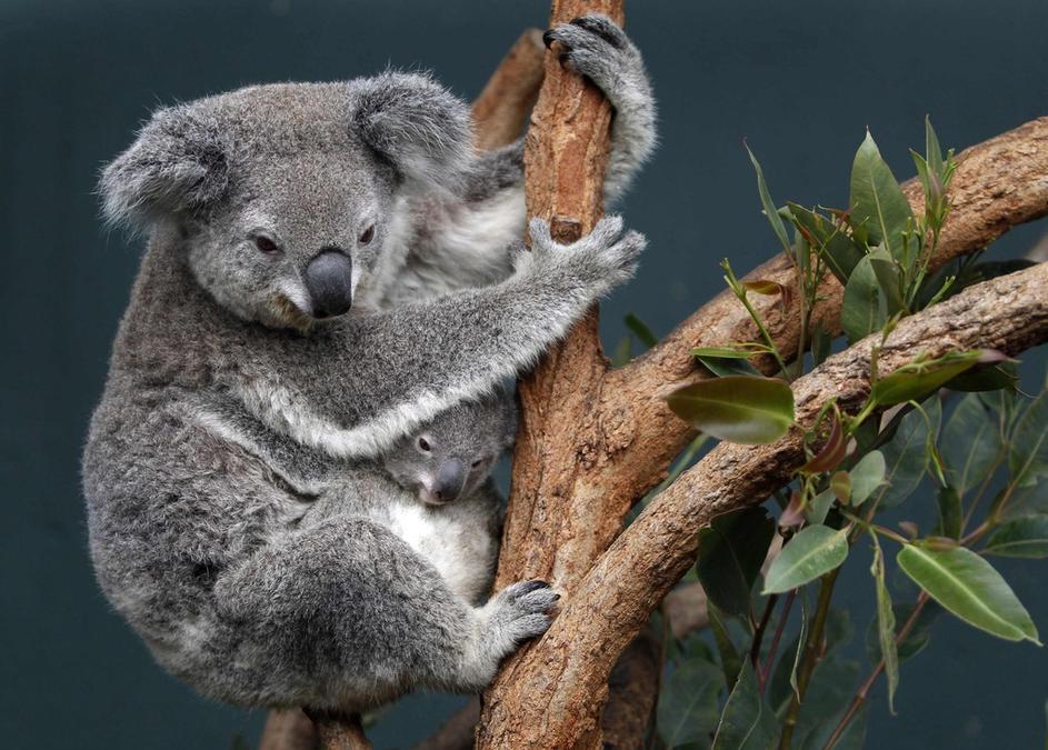 Incierto, daño a koalas por incendios en Australia
