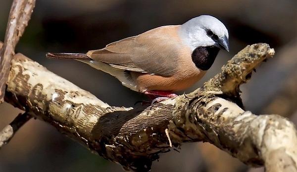 Nombran al pinzón de garganta negra como pájaro del año