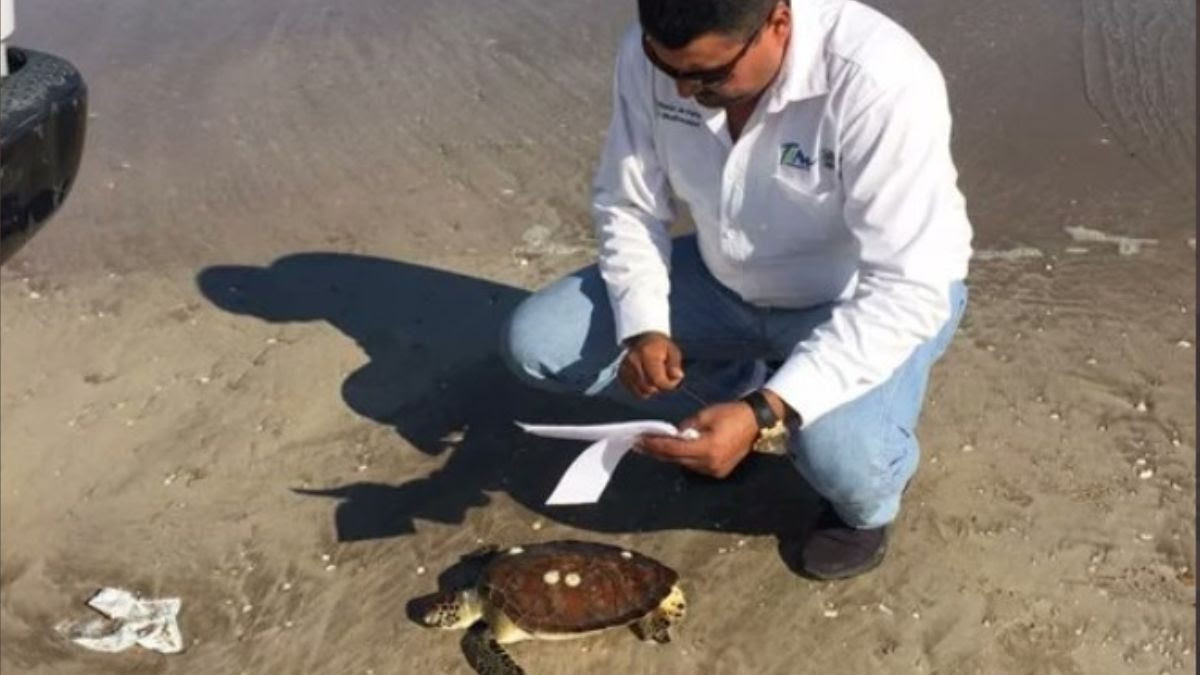 Van 130 Muertes de tortugas por redes de pesca en Tamaulipas