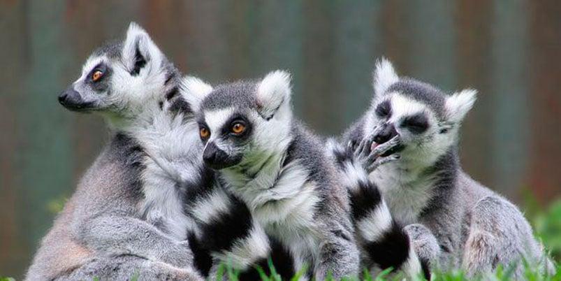 Amenaza cambio climático supervivencia de lémures