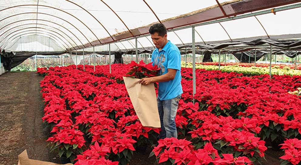Aumento en las temperaturas pone en riesgo siembra de Nochebuenas