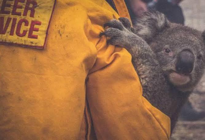 Piden a no trasladar a koalas afectados por incendios