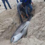 Aparece delfín muerto en Playa Fundadores de Ciudad Madero